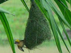 Afrikalı Terzi Kuşu