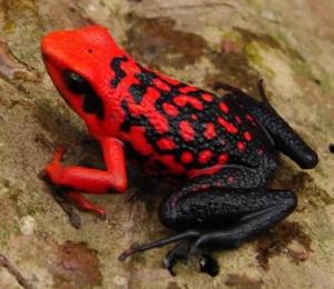 Ateş Karınlı Kara Kurbağası