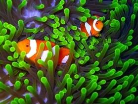 Anemon Bitkileri ve Balıkları