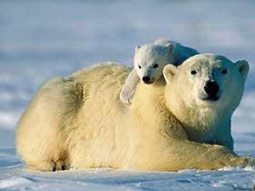 Kutup Ayılarının Derileri ve Koku Alma Yetenekleri