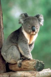 Çok yönlü uzmanlar: Koalalar