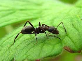 Temizlenmek İçin Kimyasal Madde Salgılayan Karınca ve Böcekler