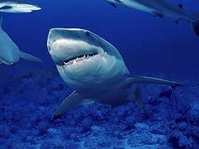 Hassas Algılayıcılara Sahip Köpekbalıkları