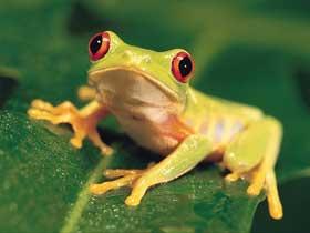 Ayaklarını Kanat Olarak Kullanabilen Ağaç Kurbağaları