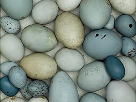 Kuşlarda Yumurtalarının Biçimi