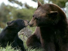 Kış uykusundaki ayılar tıp alanında yeni keşiflere esin kaynağı