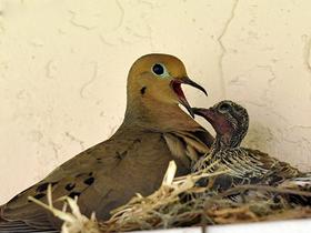 Yavruları İçin Besin Üreten Kuşlar