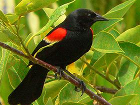 Kırmızı Kanatlı Kara Kuşlar