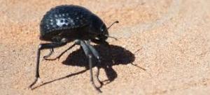 Tam teşekküllü bir su toplama ünitesi: Stenocara böceği