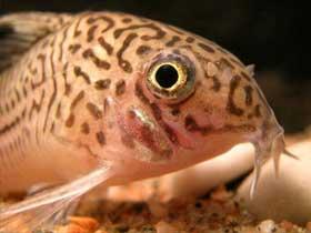 Çöpçü Balığı Taklidi Yapan Kılıç-dişli Balık