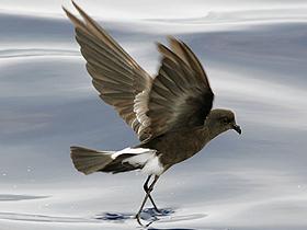 Deniz Kuşları Petreller