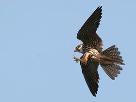 En Hızlı Uçan Kuş: Doğanlar
