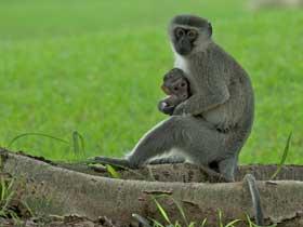 Vervet Maymunlarının Anlaşma Şekilleri