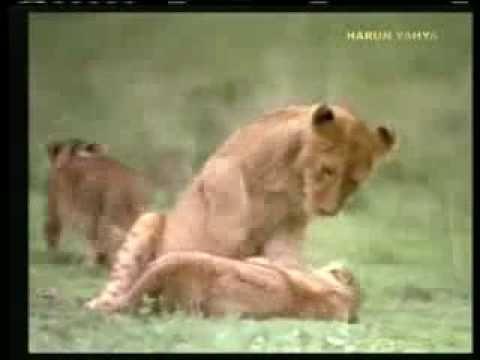 Aslanlar Nasıl Yaşar