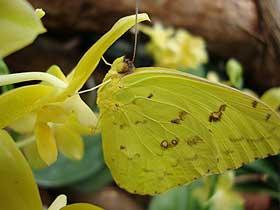 Sarı Kelebek ve Orkide Arasındaki Ortaklık