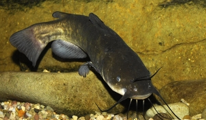 Yayın Balığı