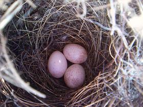 Kuşların Yumurtaları