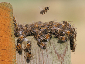 Kovanlarını Koruyan Arılar