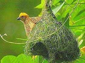 Yuvası Ekmek Fırınına Benzeyen Kızıl Fırıncı Kuşu