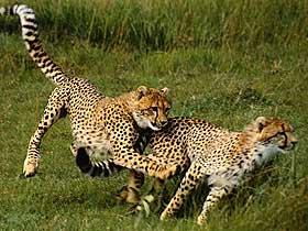 Dünyanın En Hızlı Koşan Kara Hayvanı Çitalar