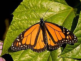 Monarkların Bağışıklık Sistemi