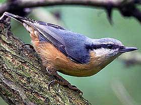 Sıvacı Kuşlarının Becerisi