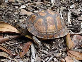 Kaplumbağa Yavruları