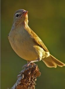 Ötleğen Kuşu