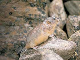 Lemmingler'in Isı Dengeleri