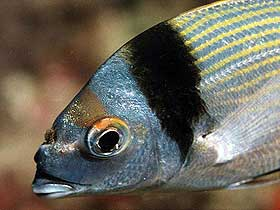 Gümüş Renkli Balta Balığı