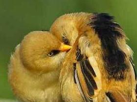 Yavrularını Korumak İçin Sahte Yuvalar Kuran Kuşlar