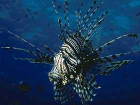 Erkek Dikenli Balıkların Özenle Hazırladıkları Yuvalar