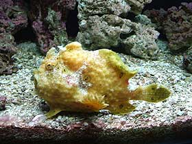 Derin Sularda Yaşayan Anglerfish