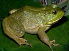 Büyük Boğa Kurbağası