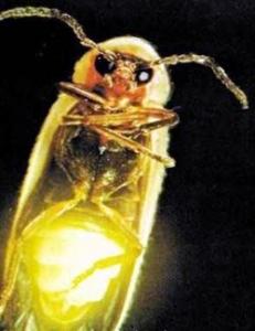 Ateş böceklerinin verim sırrı
