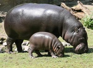 Su Aygırı (Hipopotam)