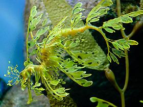 Kamuflaj Ustası Yapraklı Deniz Ejderleri