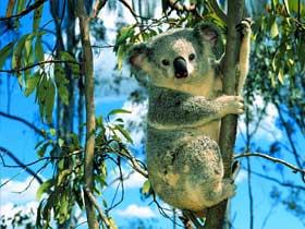 Koalalar Zehirli Okaliptüs Yapraklar ile Beslenirler