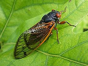 Ağustos Böceklerinin Sesi