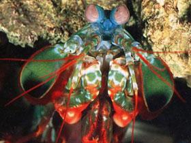 Mantis karidesinin ölümcül vuruş mekanizması