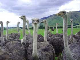 Deve Kuşlarının İlginç Kuluçka Sistemleri