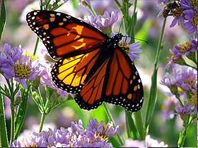 Kral Kelebeklerin Göç Yolculuğu