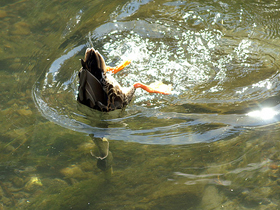Dalgıç Ördekler