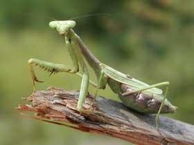 Malayan Mantis Böceği