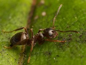 Antibiyotik Salgılayan Karıncalar