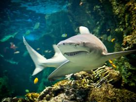 İri Köpekbalıklarının Beslenmesi