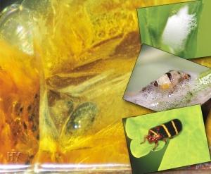 Köpüklü Ağustos Böceği