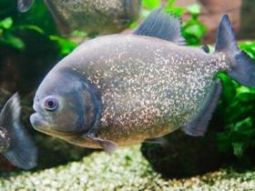 Su Üzerinde Köpükten Yuva Kuran Anabantid Balıkları