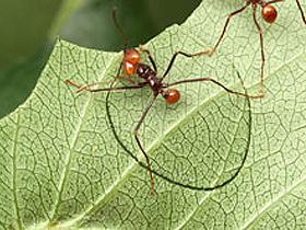 Yaprak kesici karıncalar: Attalar