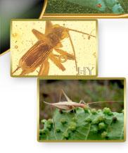 Fosiller Evrimi Yalanlıyor; Cırcır Böceği
